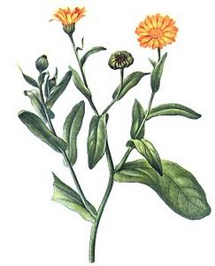 CALENDULA OFFICINALIS L.